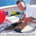 Shark migration study yielding first results