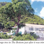 Haviser says that mango tree poses no risk