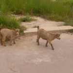 Roaming animals will be taken off the street on Statia