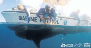 The tagging of sharks
